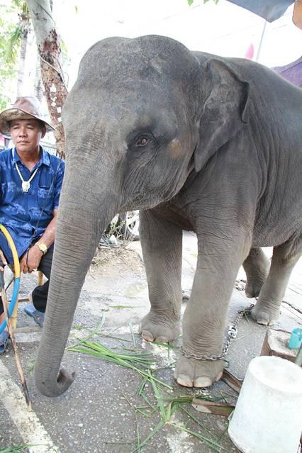 大象真的很聪明,很可爱!这头小象据说要40w人民币.