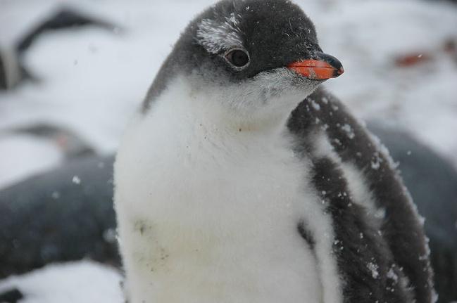 南极最稀有的动物