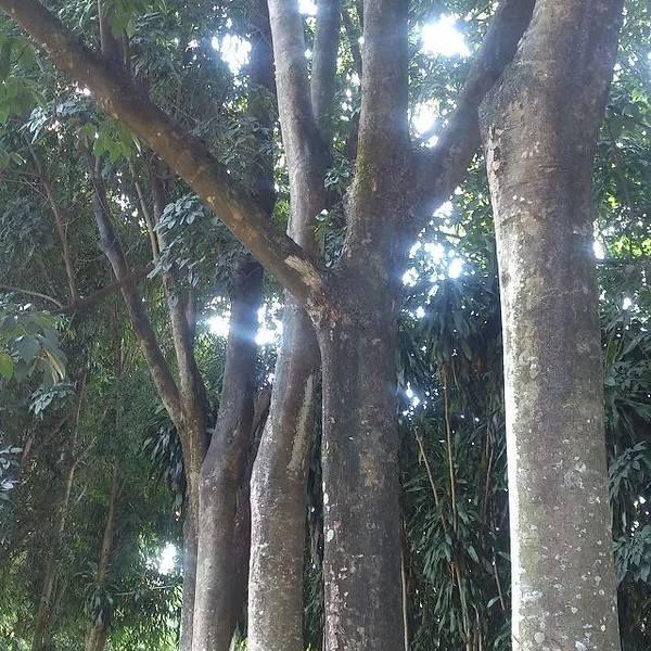 嘿嘿:高大的橡胶树:周总理