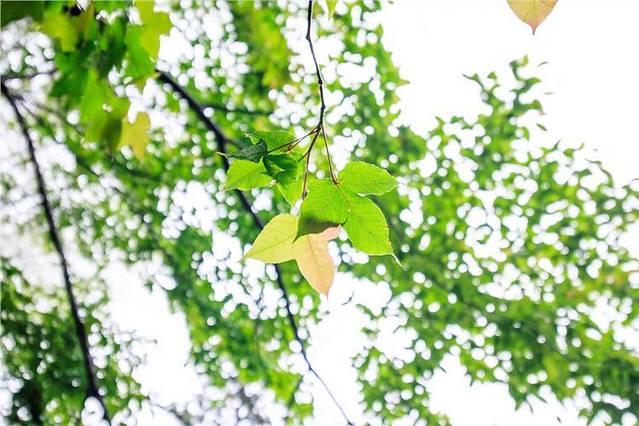 黄山四季各不同,春天的银杏树和枫树,春雨滋润后,更显苍翠,如果是秋天