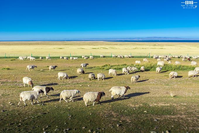 手绘草原羊群图片