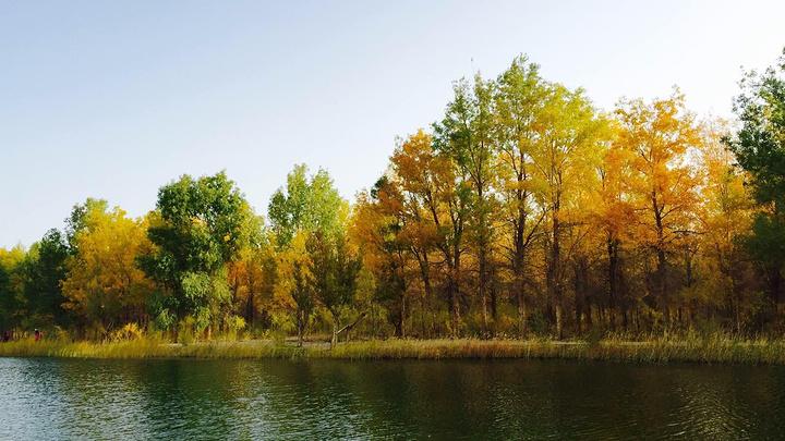 金塔县金波湖胡杨林 一个原本是防护林工程.图片