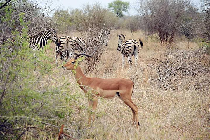 出机场办完租车手续后,就一路高歌猛进的向第一站克鲁格国家公园进发。克鲁格国家公园是南非最大的野生动物园。毗邻津巴布韦、莫桑比克二国边境。公园长约320千米,宽64千米,占地约2万平方千米。园中一望无际的旷野上,分布着众多的大象、狮子、犀牛、羚羊、长颈鹿、野水牛、斑马、鳄鱼、河马、豹、猎豹、牛羚、黑斑羚、鸟类等异兽珍禽。