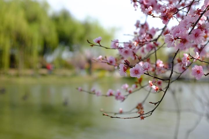尤其现在是春天,百花齐放,瘦西湖景色更是美不胜收.