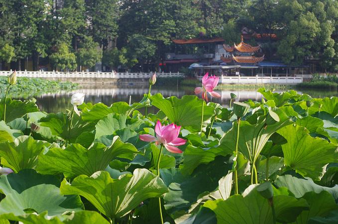 香格里拉旅游攻略 20天狂游云南  翠湖公園位于昆明市區的螺峰山下