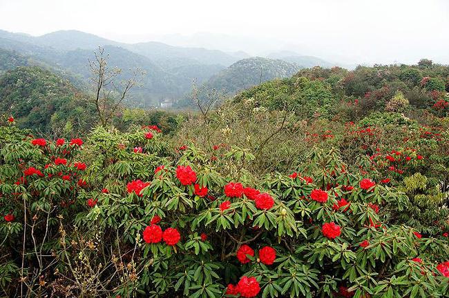 天然上的攻略大高原青岛百里杜鹃_毕节旅游花园贵州六一旅游攻略图片
