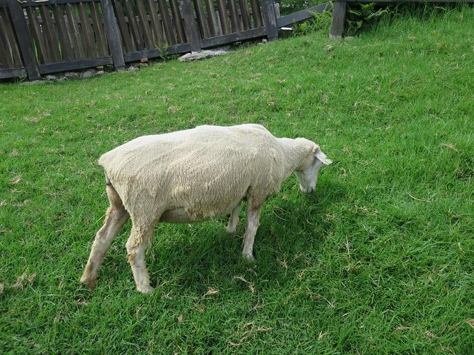 衣服的农场动物