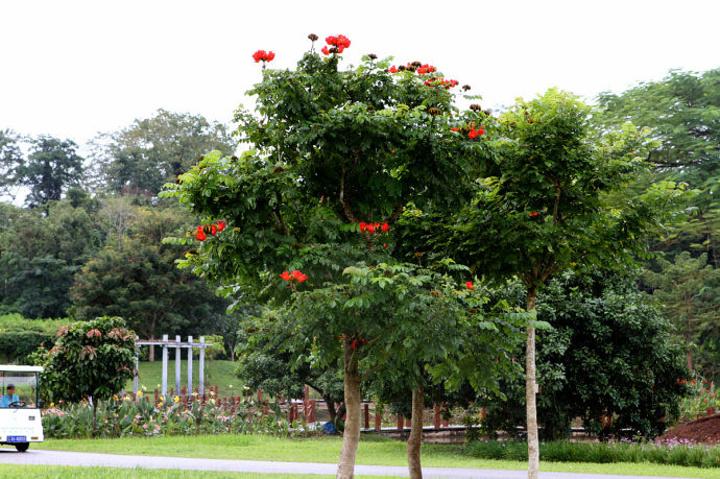 这棵开满火红色花朵的大树叫火焰树,是加蓬共和国的国树.