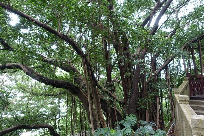 独木成林的大榕树