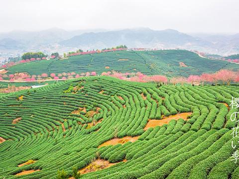 漳平市永福樱花园旅游景点图片