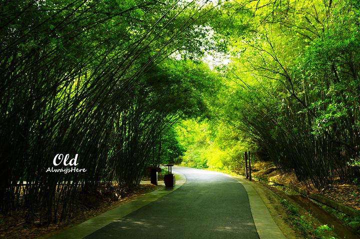 熊猫基地内到处是大片大片的竹林,走在林间小道上不仅凉快,心也慢慢图片