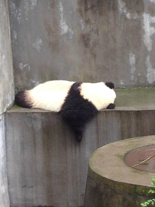 大熊猫繁育研究基地图片