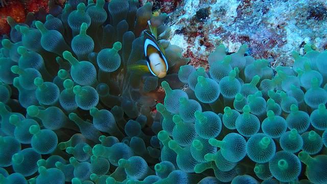相信许多到过台湾的游客都这里垦丁这个漂亮的地方,然而在这里,我要给大家介绍的是垦丁的另外一面垦丁海底世界。垦丁海域有着丰富多样的海下环境,海域内约有290种以上的石珊瑚,50种以上的软珊瑚和50种以上的柳珊瑚。此外,还拥有1200多种的珊瑚礁鱼类,多种的软壳动物,甲壳动物,棘皮动物与刺胞动物。藻类至少有130种以上,分布在潮间带至水深50米处的海地。这些各式各样的生物与珊瑚共同组成一片生机盎然的海洋热带雨林。垦丁潜水的能见度在15m-40m之间,只要不是遇到台风,通常情况还是不错。垦丁并不是以大东西为主