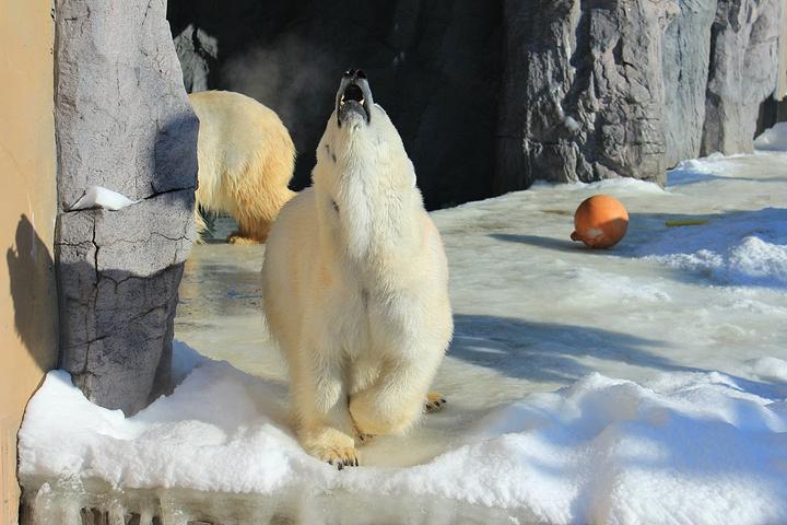 冬季的旭川动物园,有企鹅巡游项目,小朋友可近距离欣赏企鹅,这也是