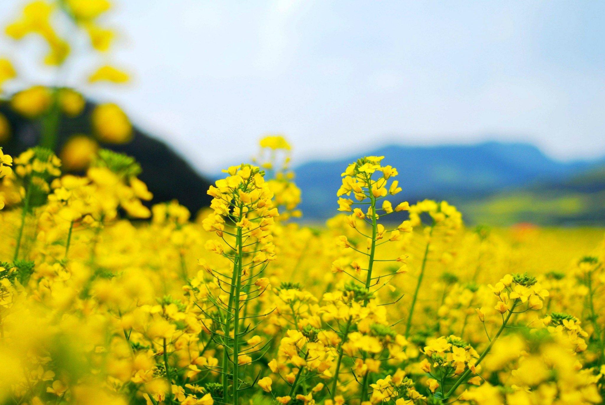 厌倦苍白寒冬?这里漫山金黄,遍地明亮!八十万亩油菜花田,静待君赏!