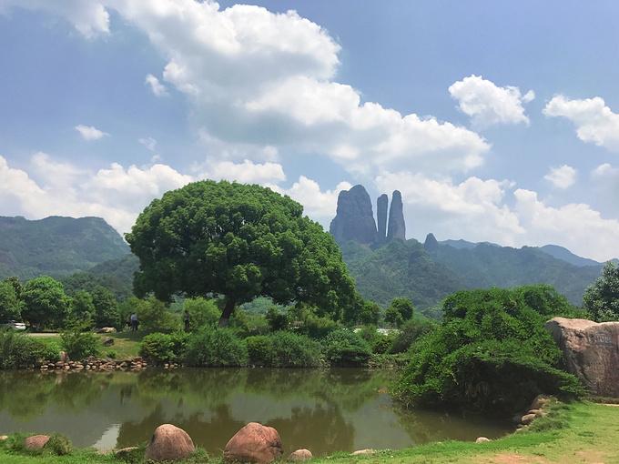 大樟樹的照片,于是就來到了這,親眼目睹了這一顆大樟樹與江郎山的合影