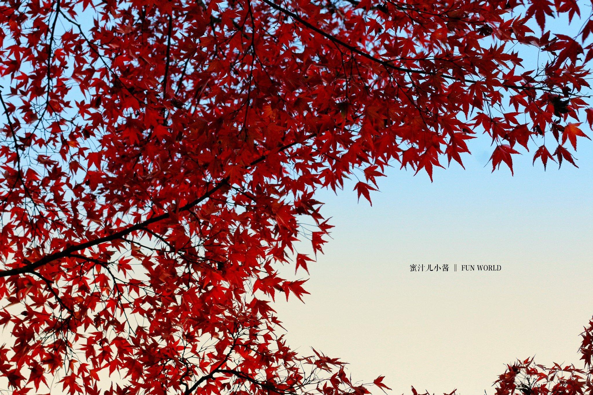 秋の霓虹枫叶季,东瀛红叶狩【蜜汁儿小酱Fun世界】京都赏枫· 附拍照Tips