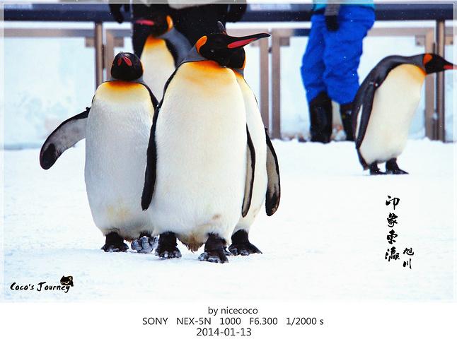 企鹅散步是旭川动物园最友爱的表演了