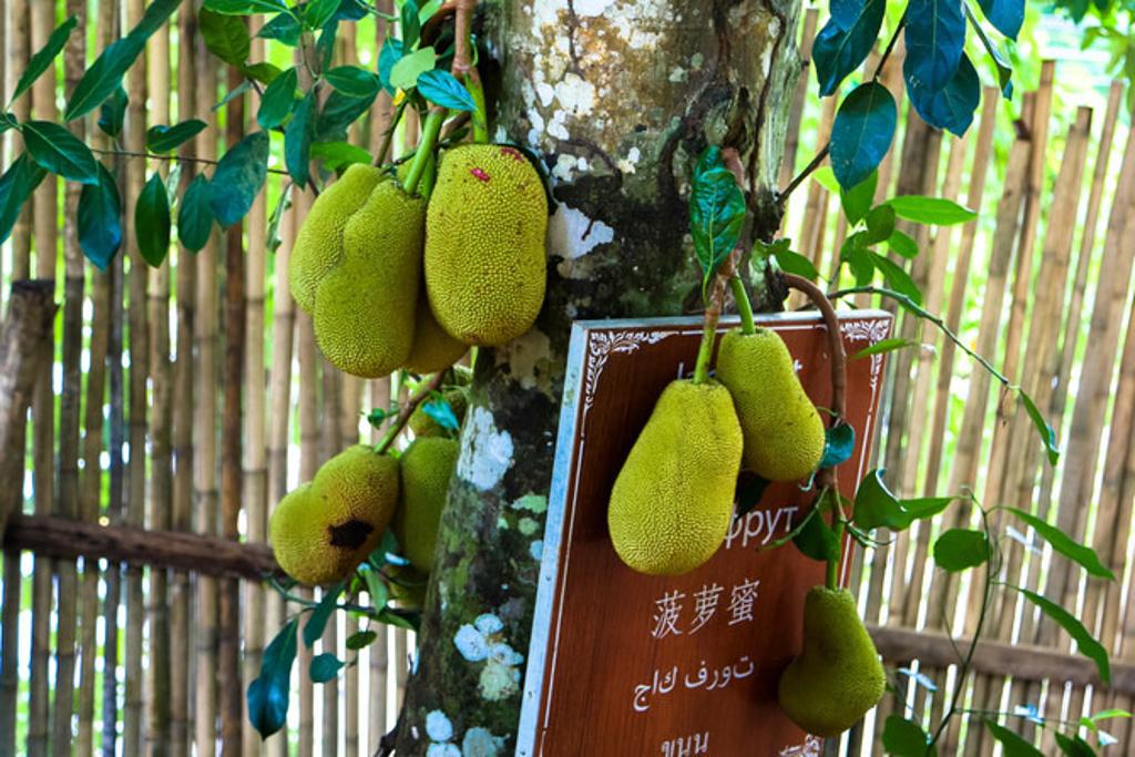 水果园,看到树上的榴莲,菠萝蜜和火龙果了.