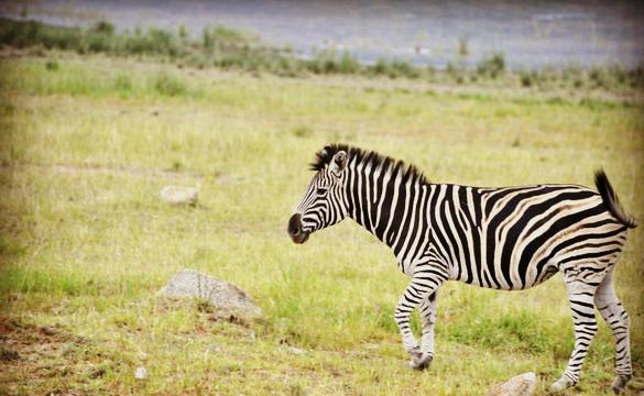南非动物图片手绘