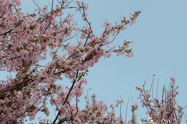 大妈们都在樱花树下唱歌跳舞