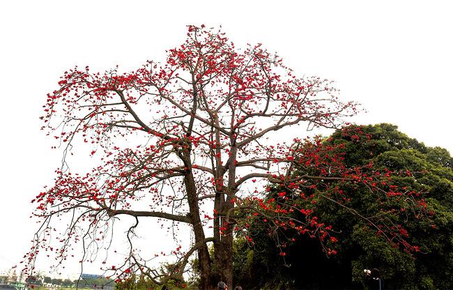 这棵木棉树不像其他木棉树高耸直立