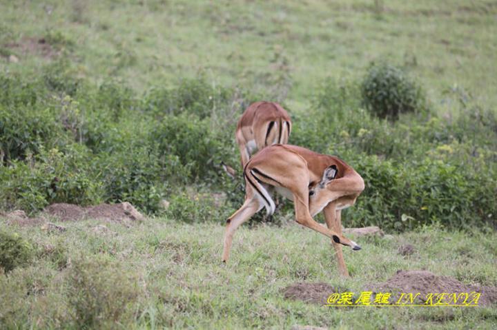 蹬羚,身型很娇小的动物,跑起来都很好看,仿佛身上的肉都没有多余的