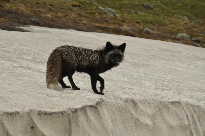 有幸在下山的时候遇见的小动物,有人说这是猞猁,我也不懂~~望高人赐教