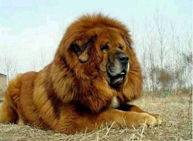 藏獒vs狮子_见过吗?~像狮子一样的藏獒.