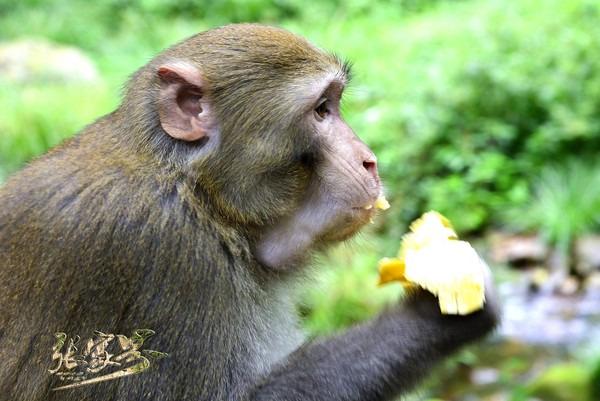 金鞭溪是最多大圣出没的地方,建议不要主动喂养它们,以免引来大群猴子