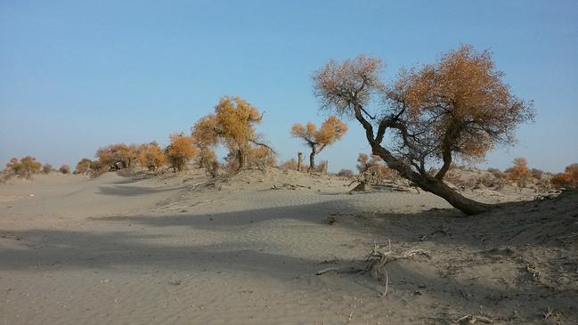 塔河油田的沙漠胡杨