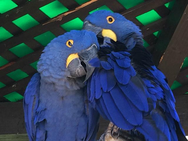 蓝金刚鹦鹉