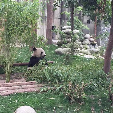大熊猫都喜欢躺着吃饭