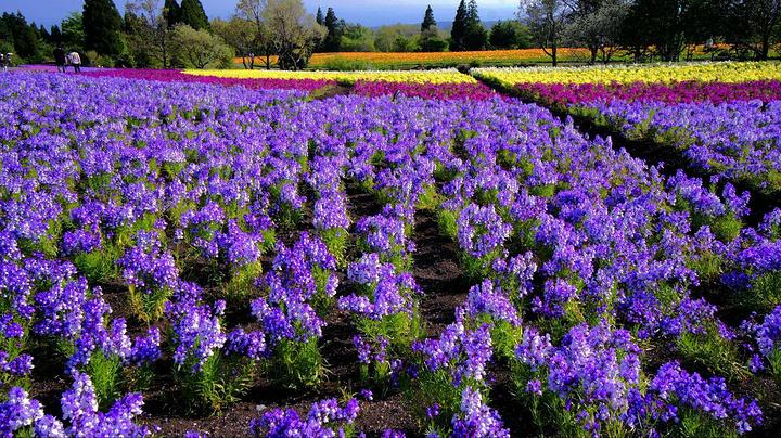 四季彩之丘. 这一季盛开的是金鱼草,还有春之彩花田