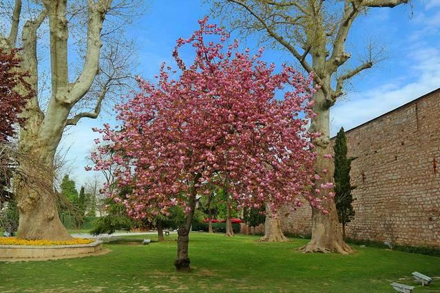 旧皇宫门前的一颗樱花树