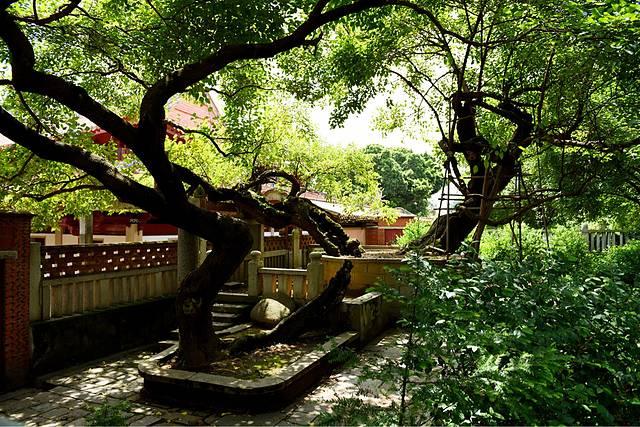 古桑莲树与开元寺共同经历过千年风雨,这是我国现存最古老的桑树.