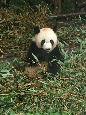 壁纸 大熊猫 动物 360_480 竖版 竖屏 手机