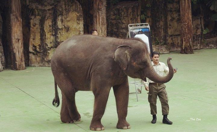 就在亚洲象旁边,先给大家打个招呼,好淑女的打招呼方式,好可爱