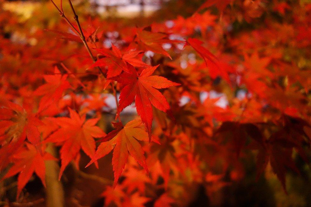 在深秋最美的季节,来关西赏红叶