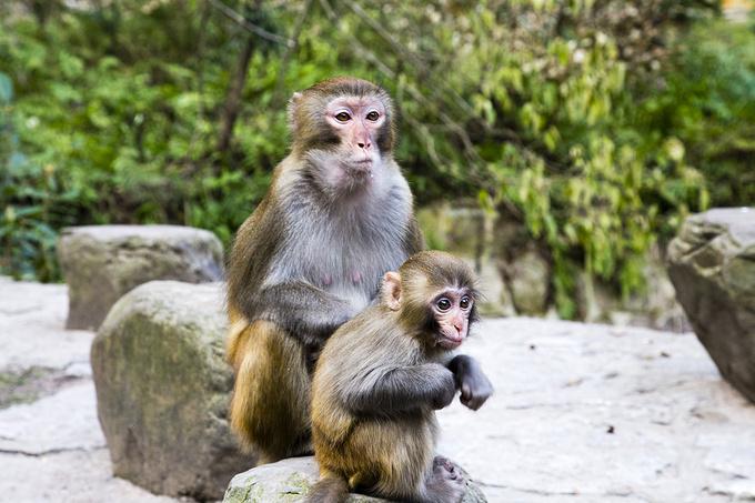 山下的猴子,母猴子带着自己孩子来到山下碰碰运气,运气好的话会捡到