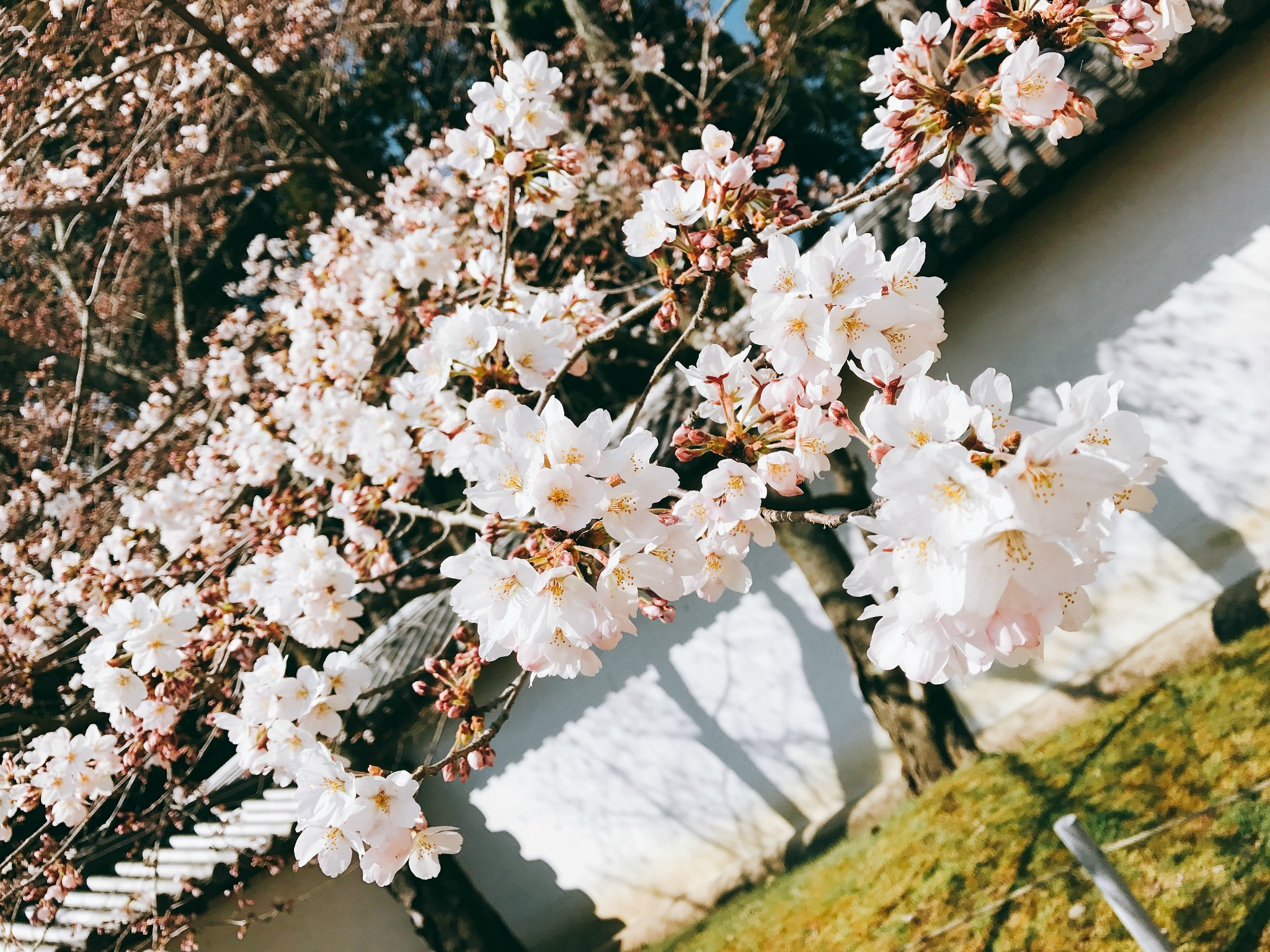 樱花樱花想见你——闺蜜双人日本小白行
