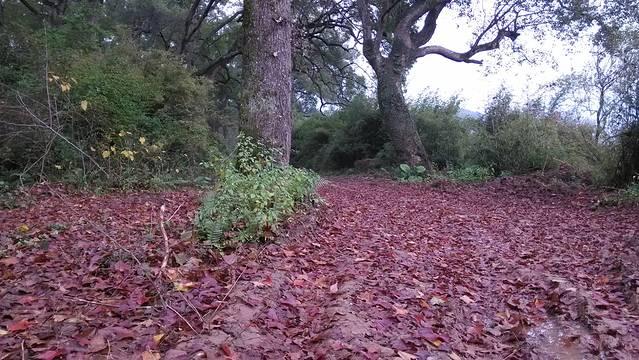 桂林恭城镇乐湾古樟林秋天枫叶铺成红色地毯