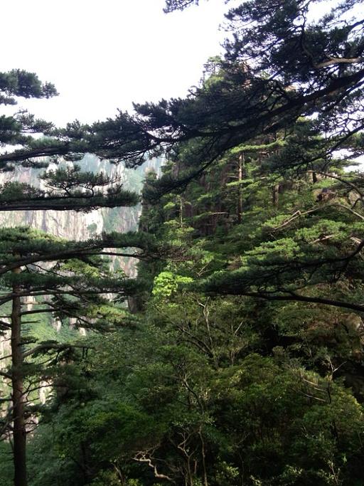 """""""黄山松不像一般的松树"""