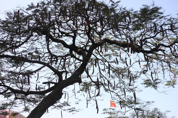 路边的凤凰木挂着长长的豆荚,非常显眼.夏天盛开的时候是街头的美景.