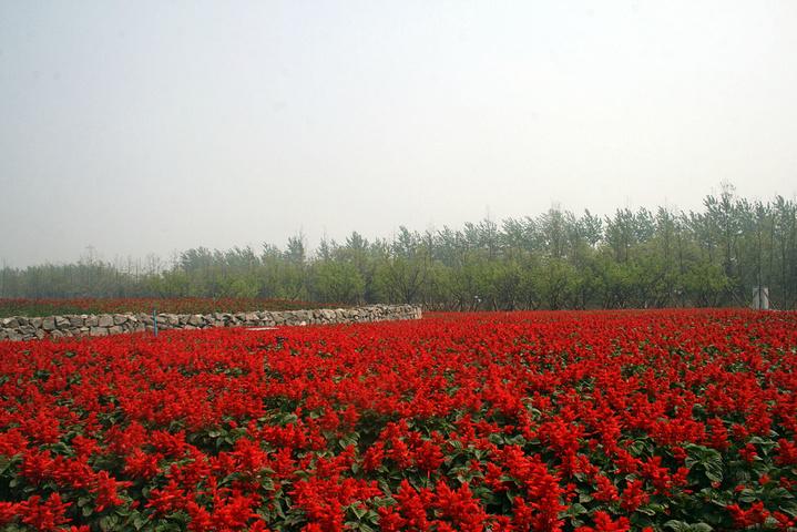 一串红,花朵繁密,色彩艳丽,在我们很多景区都广泛种植.