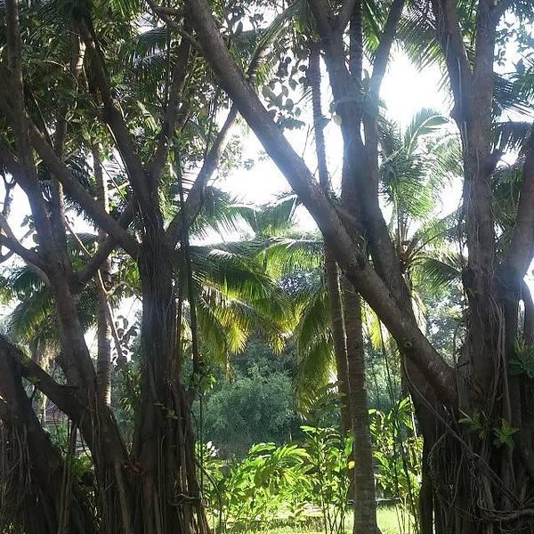 我看到了高大的橡胶树,还可以看到被割过橡胶后留在树干上的痕迹;周