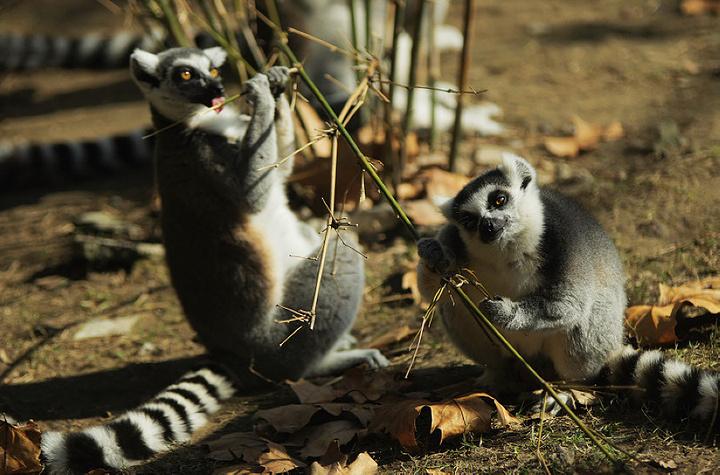 秋天的动物园,动物是点缀,节尾狐猴在折腾枝条.