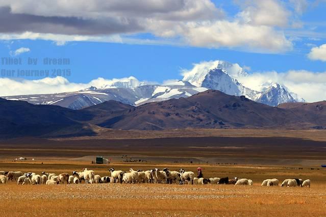 仲巴大草原下可爱的羊群!