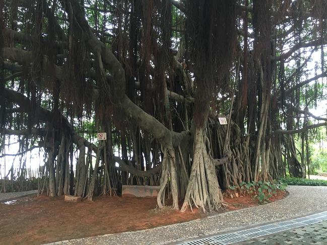 大榕树的树根