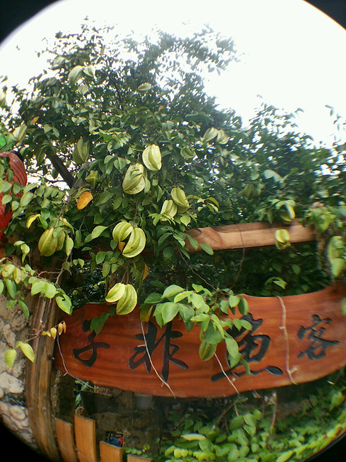 子非鱼客栈院子里的杨桃树,老板说每个客人每天能免费吃一个,因为只有
